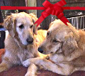 Two golden retreiver dogs laying together with a red holiday bow